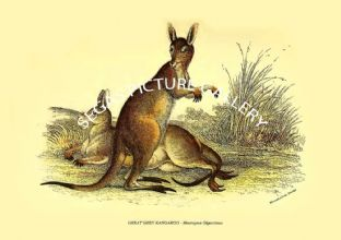 GREAT GREY KANGAROO - Macropus Giganteus